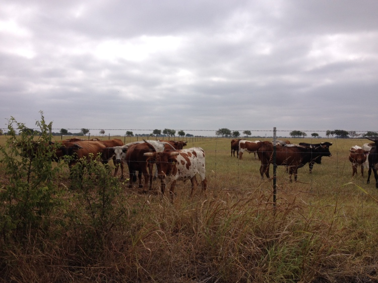 cows who live on the ranch across the street